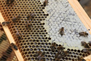 Honey cells before sealing